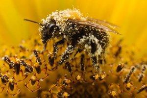 Οι μέλισσες εξαφανίστηκαν μαζί με τους δεινοσαύρους