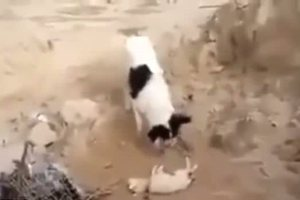 Σκυλίτσα θάβει νεκρό κουτάβι