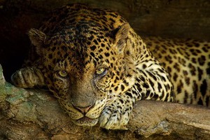 Πέρασαν λεοπάρδαλη για αγριόγατα και τη σκότωσαν