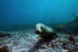 Φώκιες κολυμπούν στην Αυστραλία