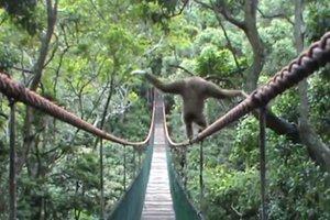 Πίθηκος ακροβατεί σε τεντωμένο σχοινί