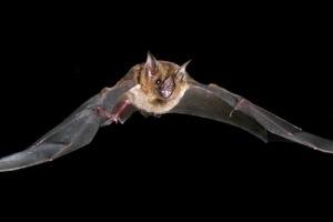 Οι νυχτερίδες ανακυκλώνουν την ενέργεια για να πετάξουν