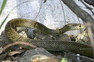 Φίδι βγήκε από τη λεκάνη και τον δάγκωσε στα γεννητικά όργανα