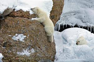 Δύσκολη η ζωή για τις πολικές αρκούδες...