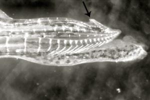 Ψάρια με «νύχια» στα γεννητικά όργανα επιτίθενται στα θηλυκά