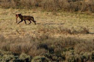 Λύκοι «βοηθούν» αρκούδες υπό εξαφάνιση να τραφούν