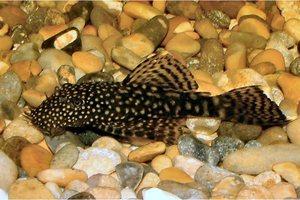 Ψάρι του Αμαζονίου εντοπίστηκε στην Καστοριά