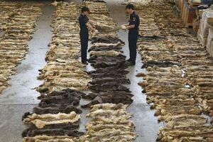 Λαθρεμπόριο δερμάτων λύκου από την Ελλάδα στην Κίνα