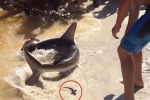 Καρχαρίας γέννησε μπροστά στα μάτια λουόμενων