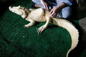 Ο αλιγάτορας που κάνει... βελονισμό