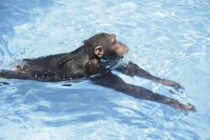 Οι πίθηκοι μπορούν να διδαχτούν κολύμπι