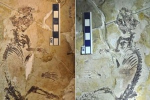 Ανακάλυψαν προϊστορικό «σούπερ» αρουραίο στην Κίνα