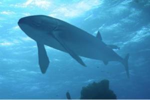 Ανακαλύφθηκε το μεγαλύτερο ψάρι στον κόσμο
