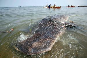 Νεαρός φαλαινοκαρχαρίας νεκρός στις Φιλιππίνες