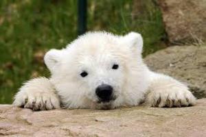 Ο ζωολογικός κήπος του Βερολίνου δικαιώθηκε για το όνομα μιας πολικής αρκούδας