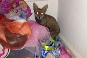 Αλεπού-νυχτερινός επισκέπτης σε σπίτι στο Λονδίνο