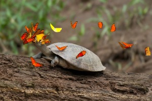 Οι πεταλούδες πίνουν τα δάκρυα των χελωνών στο δυτικό Αμαζόνιο