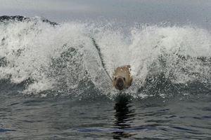 Τα θαλάσσια λιοντάρια τήν είδαν... σέρφερ