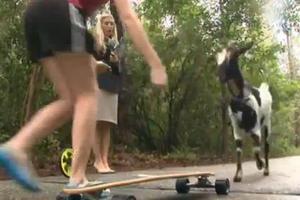 Η κατσίκα που κάνει skateboard