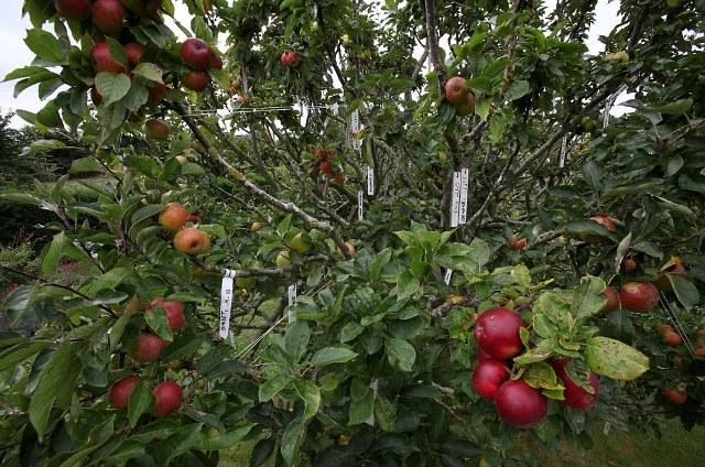 μήλα που χρονολογούνται