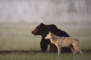 Ο λύκος και η αρκούδα