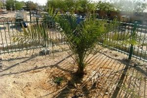 Δέντρο αναβιώνει από αρχαίους σπόρους σε σκεύος της εποχής του Ηρώδη