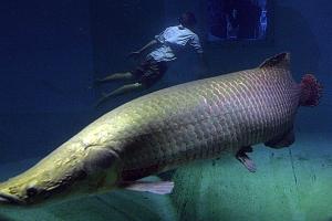 Γιγάντιο ψάρι ανακαλύφθηκε στον Αμαζόνιο