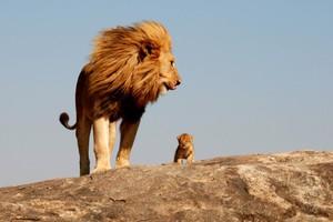 Ο «Βασιλιάς των Λιονταριών» στην πραγματική ζωή