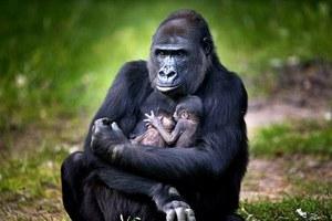 Δίδυμη χαρά σε ζωολογικό κήπο της Ολλανδίας