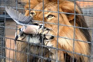 Περιστέρι γλίτωσε από τα δόντια του... λιονταριού