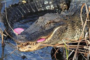 Ο πεινασμένος αλιγάτορας που καταβρόχθισε μια... ροζ σαγιονάρα