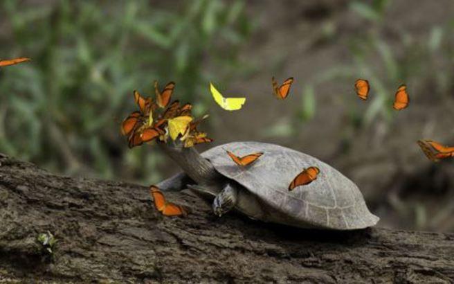 Οι πεταλούδες που πίνουν τα δάκρυα των χελωνών