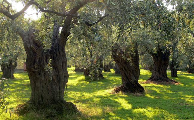 Σεργιάνι στους ελαιώνες της Ελλάδας!Μαθαίνουμε τα πάντα για τη συγκομιδή της ελιάς...