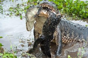 Ο μεγάλος αλιγάτορας... τρώει τον μικρό