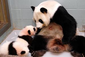 H Lun Lun φροντίζει τα μικρά της