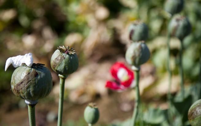 Αυξήθηκε η παραγωγή οπίου στο Αφγανιστάν