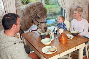 Μια καμήλα που αγαπάει το πρωινό!