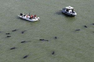 Βιολόγοι εξετάζουν τις νεκρές φάλαινες που εντοπίστηκαν στη Φλόριντα