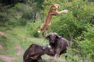 Το βουβάλι που σώθηκε από τους φίλους του ενώ το κατασπάραζε ένα λιοντάρι!