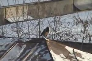 To πουλί που κάνει... snowboard