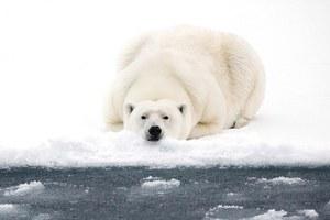 Η μοναξιά της πολικής αρκούδας