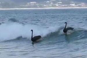 Μαύροι κύκνοι σερφάρουν στα κύματα