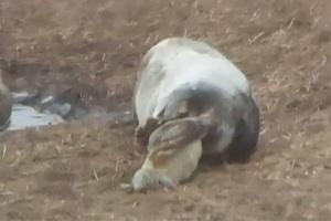 Φώκια γεννά το μικρό της