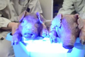 Γουρούνια που... φωσφορίζουν δημιούργησαν ερευνητές