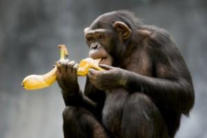 Στέρησαν από τους πιθήκους τις… μπανάνες