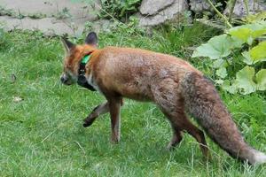 Αλεπού... μεγάλων αποστάσεων