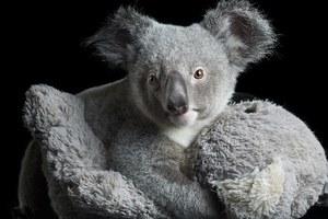 Τα κοάλα εξυπνότερα από τη μέση αρκούδα