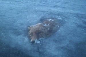 Η παγωμένη αλεπού