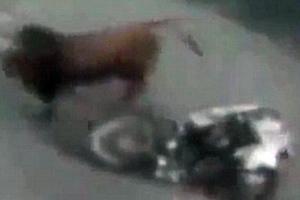 Ταύρος βγάζει νοκ άουτ μοτοσικλετιστή