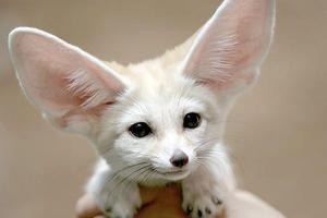 Οι αλεπούδες με τα τεράστια αυτιά
